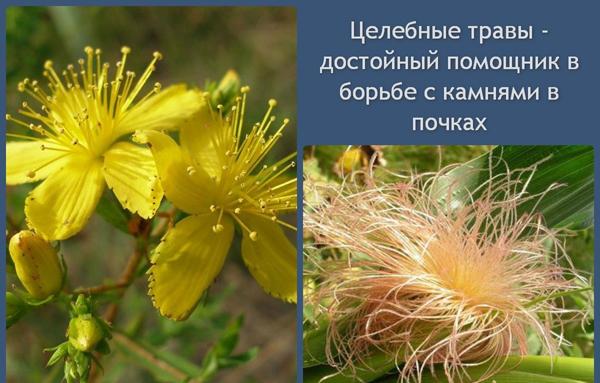 Травы от болезней почек