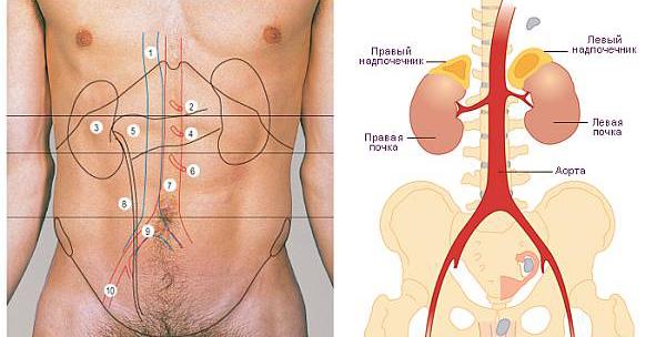 Проекция расположения почек и аорты на теле человека