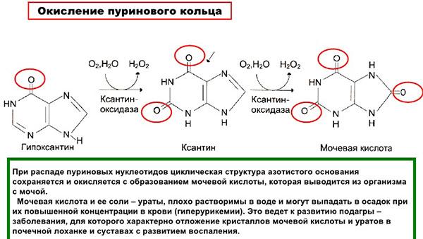 Окисление пуринового кольца - образование мочевой кислоты