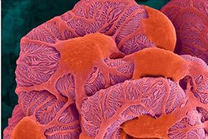 Почечный клубочек под микроскопом