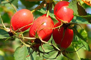 Шиповник - ягоды