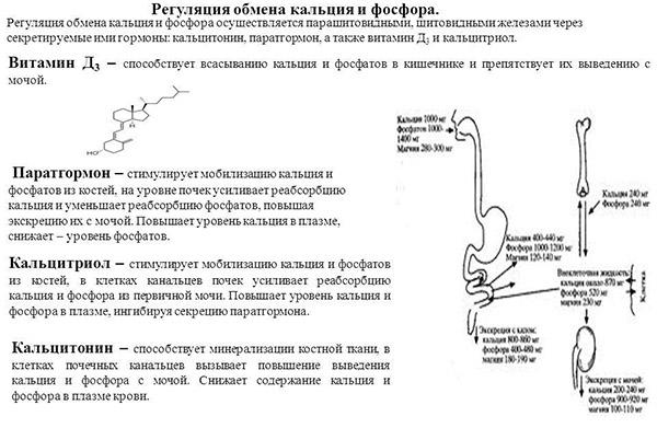 Регуляция обмена кальция и фосфора