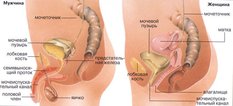 Строение мочевыделительной системы у женщин и мужчин