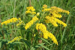 Лечебное растение золотарник