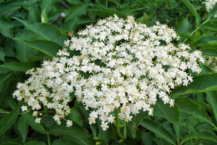 Цветы бузины при оксалатах в моче