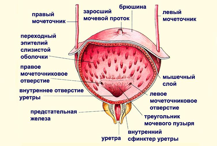 Жеснкий мочевой пузырь - строение