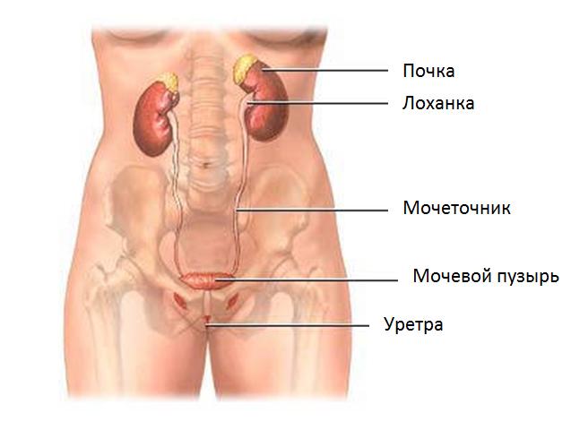 Строение нормальной почечной системы человека