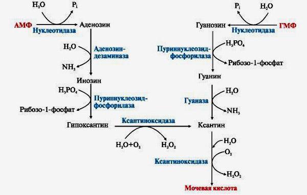 Распад пуриновых соединений до мочевой кислоты